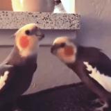 Il pappagallo che fischietta Radio Ga Ga dei Queen (video)